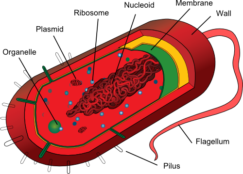 Prokaryotes structure of a bacterium image by mariana ruiz villarreal ccuart Gallery