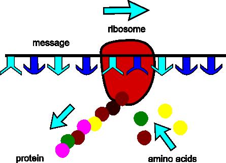 Ribosome Size Timiznceptzmusic